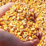 Agrisementi Lebbioli. Starcover. Aumenta la quantità e l'efficienza del mais.