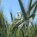 Cereali da seme da foraggio